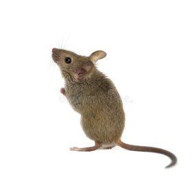 Egerek & patkányok